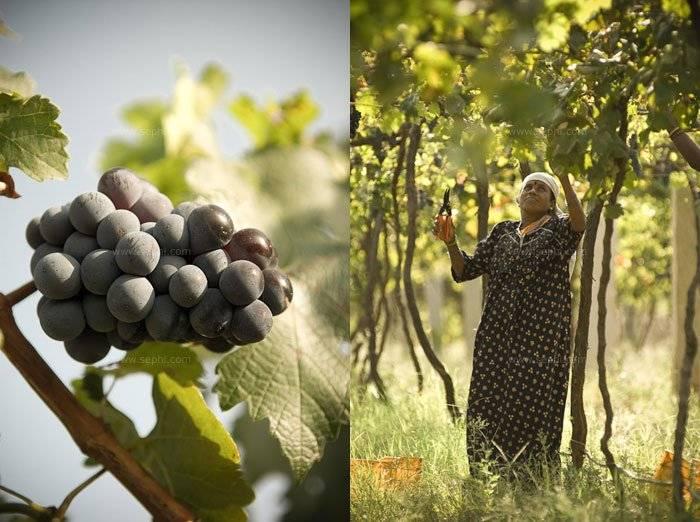 Indian_wine_grover_vineyards_01c