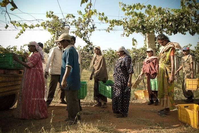 Indian_wine_grover_vineyards_13