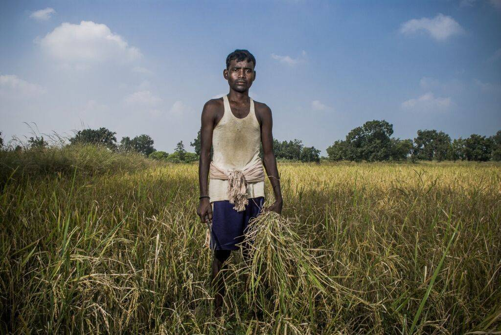 Bijila Oram (25) cutting paddy at his own field. Bhalutudhia village will soon be relocated to a resettlement colony as it's land was allotted to an industrial project.